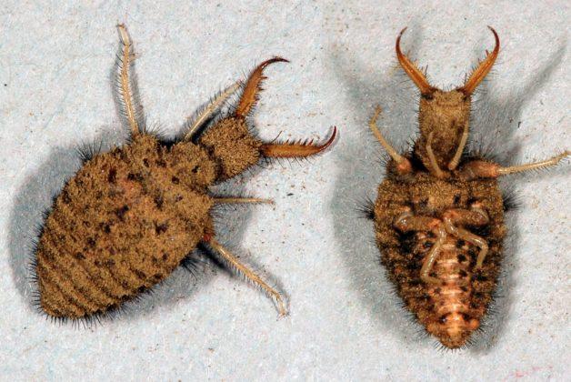 Seltene Tiere in Hamburg: Zwei ameisenlöwe im Sand. Der eine auf dem Bauch, der andere auf dem Rücken liegend.