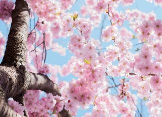 Blühender Kirschbaum. Foto: pexels/CC0