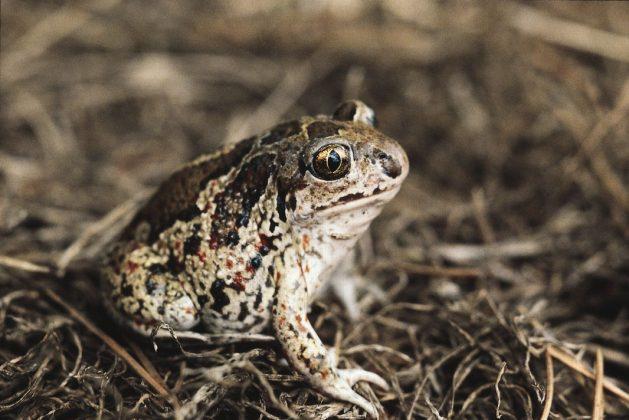 Seltene Tiere in Hamburg: Eine Knoblauchkröte