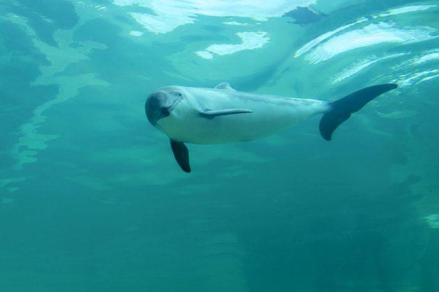 Seltene Tiere in Hamburg: Ein Schweinswal schwimmt in der Ostsee