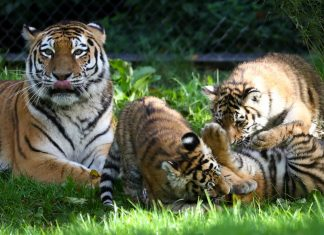 Tigerbabys im Außengehege des Hagenbecks Tierpark