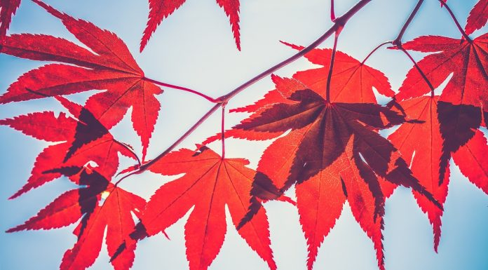 Rote Ahornblätter