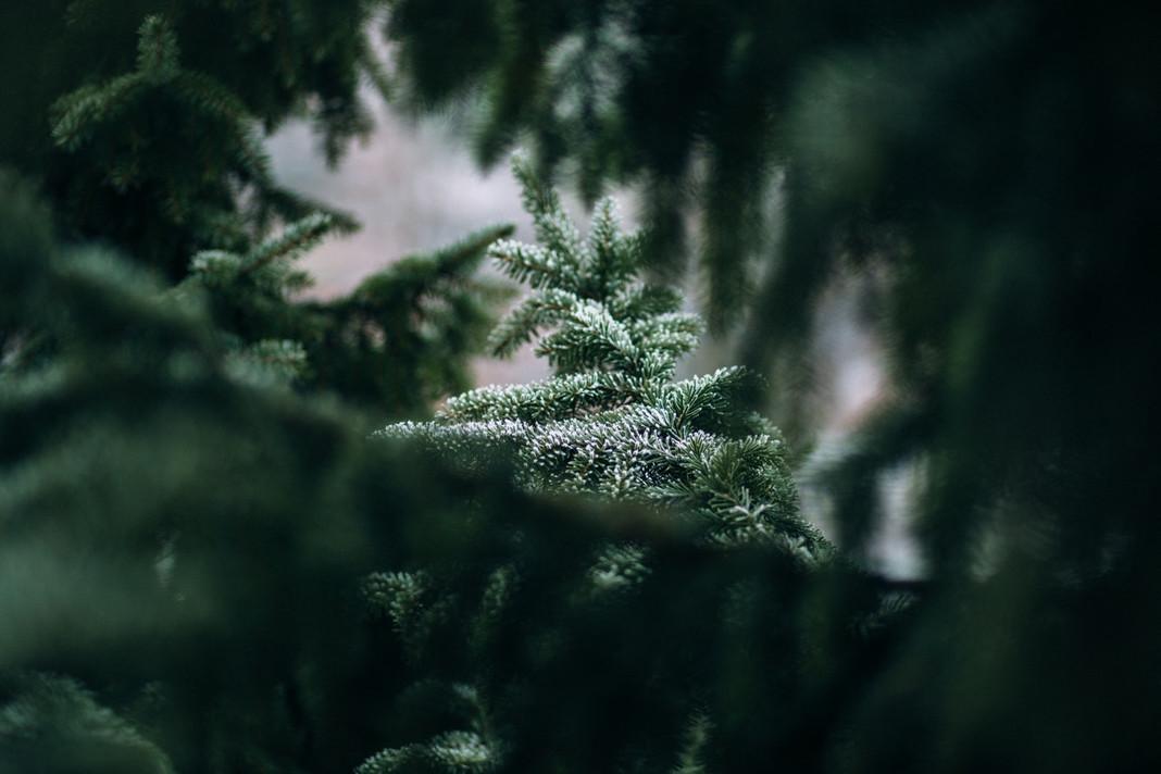 Dieses Jahr geht es mal raus in die Natur - zum selber Schlagen der Tanne. Foto: Unsplash