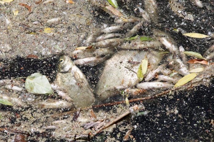 Fischsterben in Hamburg