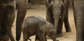 Der junge Elefant Anjuli im Jahr 2015. Foto: Christian Charisius/dpa