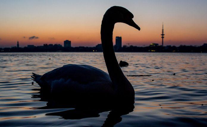 Schwäne schwimmen auf der Alster in Hamburg.
