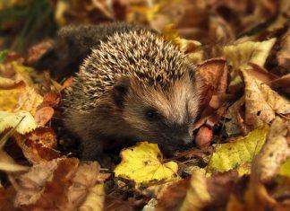 Für Wildtiere steht ab November der Winterschlaf an. Foto: pixabay