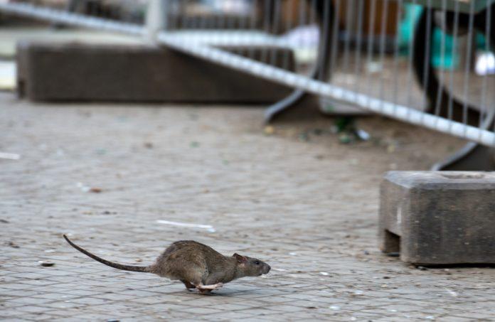 Ratten haben es in Hamburg schwer. Foto: Bernd von Jutrczenka/dpa