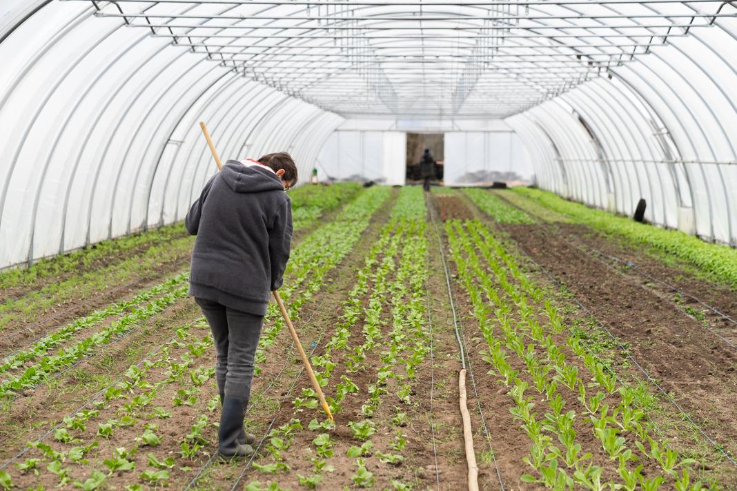 Sabine Hüholt gärtnert in einem der zwei Gewächstunnel. Mit einer Harke lockert sie den Boden zwischen den jungen Salatpflanzen.