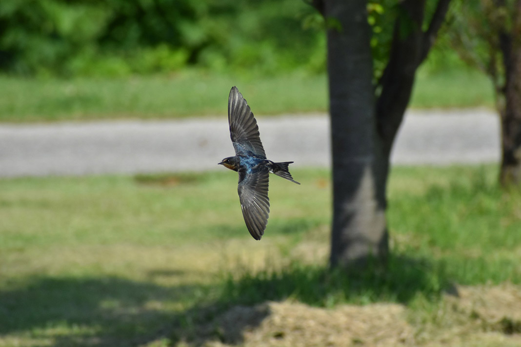 Schwalbe fliegt in Bodennähe durch die Luft.