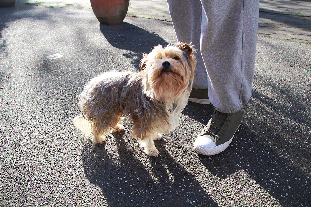 Ein kleiner Yorkshire Terrier blickt in die Kamera.