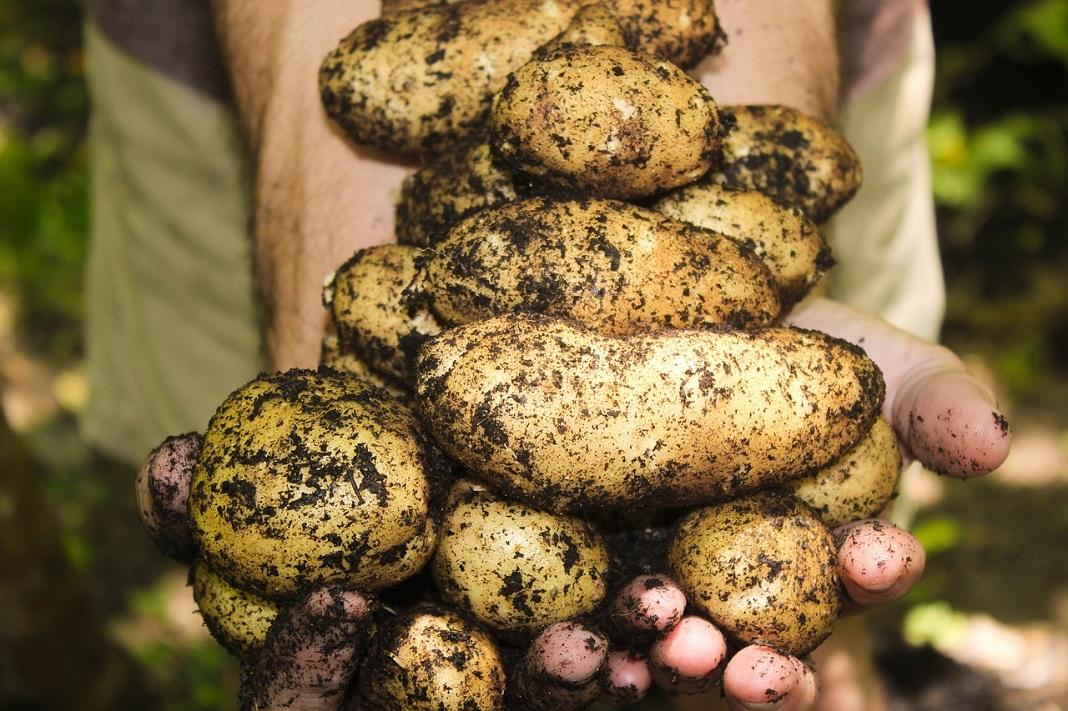 Kartoffel liegen in der Hand nach der Ernte