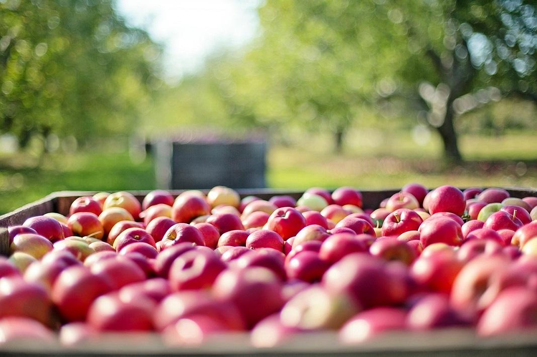 Auto transportiert die Apfelernte