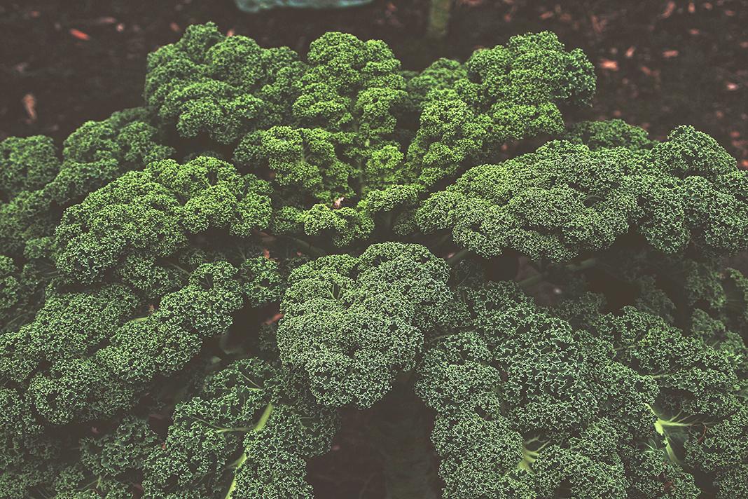 Grünkohlplflanze am Boden.