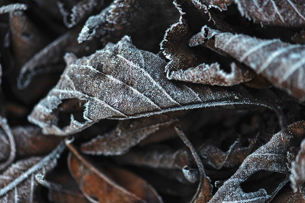Blätter mit Eis überzogen.
