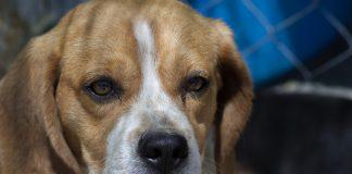 Ein Beagle schaut traurig, im Hintergrund Maschendrahtzaun. Solche Hunde wurden im LPT-Labur bei Hamburg für Tierversuche gehalten.