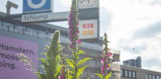 Wildblumen am U-Bahnhof Schlump