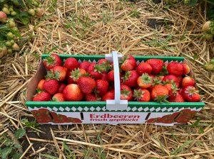 Frische selbstgepflückte Erdbeeren