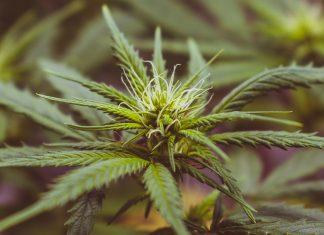 Polizei beschlagnahmt 100 Kilo Marihuana