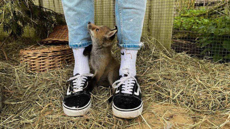Junger Fuchs im Stall