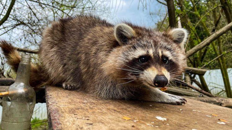 Wildtiere: Waschbär